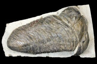 "Large, 7.5"" Parahomalonotus Trilobite - Foum Zguid, Morocco For Sale, #124901"