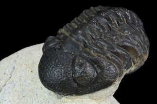 "2.2"" Morocops Trilobite - Visible Eye Facets For Sale, #120080"