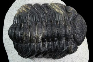 "Bargain, 2.2"" Morocops Trilobite - Visible Eye Facets For Sale, #120083"