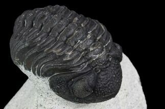 Morocops (Barrandeops) ovatus - Fossils For Sale - #120084
