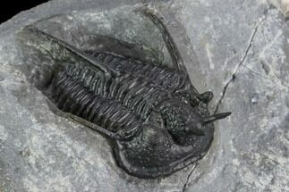 "1.35"" Devil Horned Cyphaspis Walteri Trilobite For Sale, #125177"
