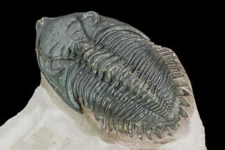"1.6"" Metacanthina Trilobite - Lghaft, Morocco For Sale, #125267"