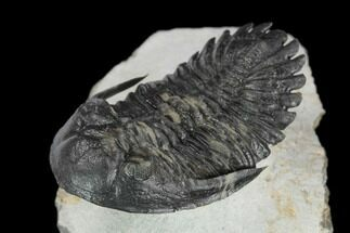 "Buy 1.95"" Flying Hollardops Trilobite - Ofaten, Morocco - #125269"