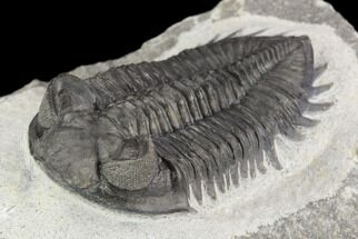 "Buy 2.25"" Coltraneia Trilobite Fossil - Huge Faceted Eyes - #125233"