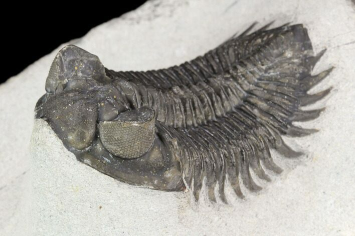 "2.05"" Coltraneia Trilobite Fossil - Huge Faceted Eyes"