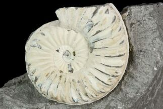 "1.1"" Ammonite (Pleuroceras) Fossil in Rock - Germany For Sale, #125420"