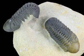 Buy Two Beautiful Reedops Trilobites - Atchana, Morocco - #125467