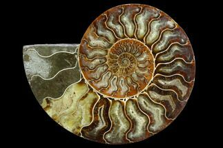 Cleoniceras - Fossils For Sale - #125574