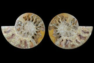 "9.3"" Daisy Flower Ammonite (Choffaticeras) - Madagascar For Sale, #125501"