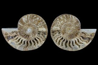 "Buy 11.9"" Daisy Flower Ammonite (Choffaticeras) - Madagascar - #125494"