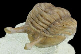 "1.7"" Stalk-Eyed Asaphus Kowalewskii Trilobite - Russia For Sale, #125648"