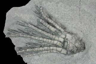Decadocrinus depressus - Fossils For Sale - #125907