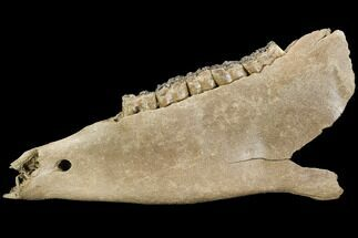"12"" Fossil Horse (Equus) Jaw - River Rhine, Germany For Sale, #125987"