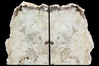 "Buy 7.7"" Petrified Wood Bookends - Oregon - #125998"