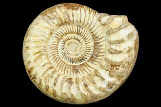 Perisphinctes sp. - Fossils For Sale - #126066