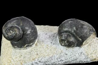 Two Devonian Gastropod Fossils - Issoumour, Morocco For Sale, #126269