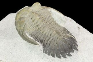"2.3"" Detailed Hollardops Trilobite - Multi-Toned Shell For Sale, #126284"