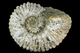 "7.6"" Tractor Ammonite (Douvilleiceras) Fossil - Madagascar For Sale, #126398"