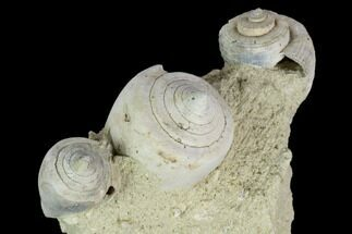 "3.2"" Tall, Miocene Fossil Gastropod Cluster - France For Sale, #113675"