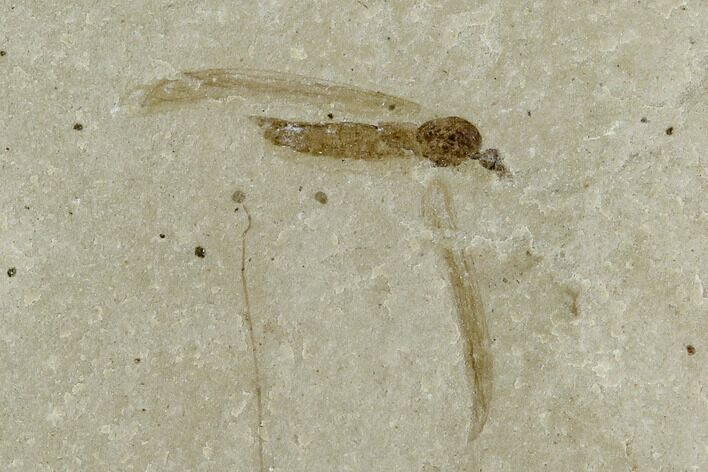 ".43"" Fossil Crane Fly (Pronophlebia) - Green River Formation"