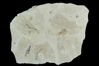 "Buy 4.9"" Insect Fossil Cluster- Green River Formation, Utah - #101680"
