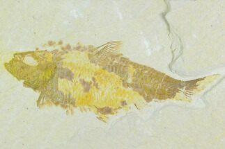 "Buy Bargain 3.8"" Fossil Fish (Knightia) - Wyoming - #126553"