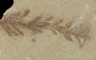 "Buy 1.5"" Dawn Redwood (Metasequoia) Fossil - Montana - #126616"