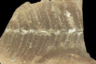 "1.7"" Fossil Fern (Pecopteris) - Mazon Creek For Sale, #121061"