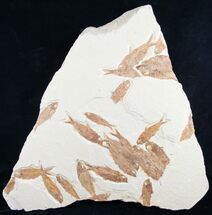 Knightia eocaena - Fossils For Sale - #8793