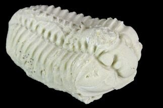 "1.15"" Calymene Celebra Trilobite - Illinois For Sale, #126824"