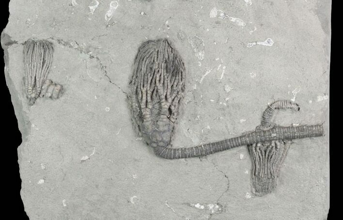 Three Crinoid Fossils (3 Species) - Crawfordsville, Indiana