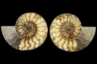 Cleoniceras - Fossils For Sale - #127248