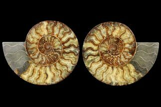 "Buy 10.25"" Agatized Ammonite Fossil (Pair) - Huge Example - #127252"