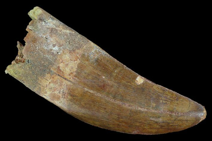 "Large, 3.58"" Carcharodontosaurus Tooth - Very Thick Tooth"