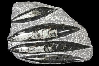 "8.7"" Polished Fossil Orthoceras (Cephalopod) Plate - Morocco For Sale, #127724"
