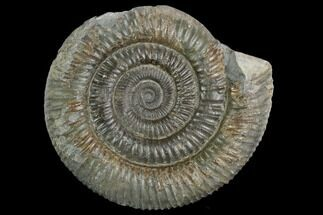 "3.2"" Ammonite (Dactylioceras) Fossil - England For Sale, #127502"