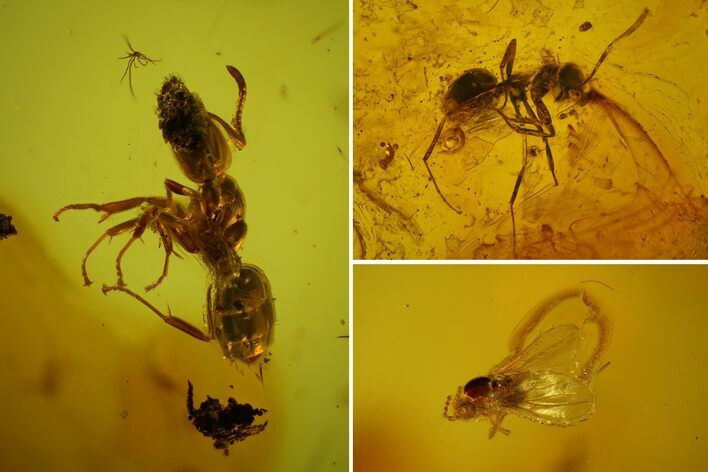 Detailed Fossil Ants (Formicidae) & Fly (Diptera) In Baltic Amber