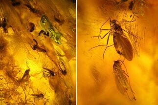 Buy Cluster of Fossil Flies (Diptera) in Baltic Amber - #128344
