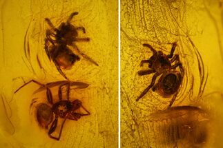 Buy Two Fossil Spiders (Araneae) in Baltic Amber - #128350