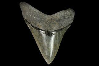 "Buy Serrated 4.48"" Fossil Megalodon Tooth - South Carolina - #128308"