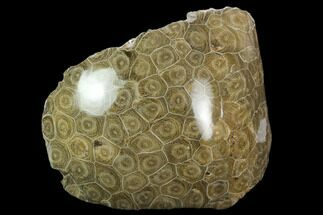 "5.1"" Polished Fossil Coral (Actinocyathus) Head - Morocco For Sale, #128177"