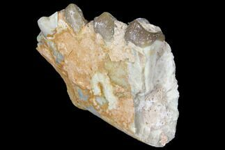 "2.15"" Oreodont (Merycoidodon) Jaw Section - South Dakota For Sale, #128123"