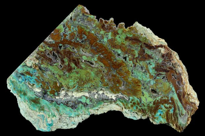 "5.75"" Petrified ""Colla Wood"" With Chrysocolla & Malachite - Turkey"