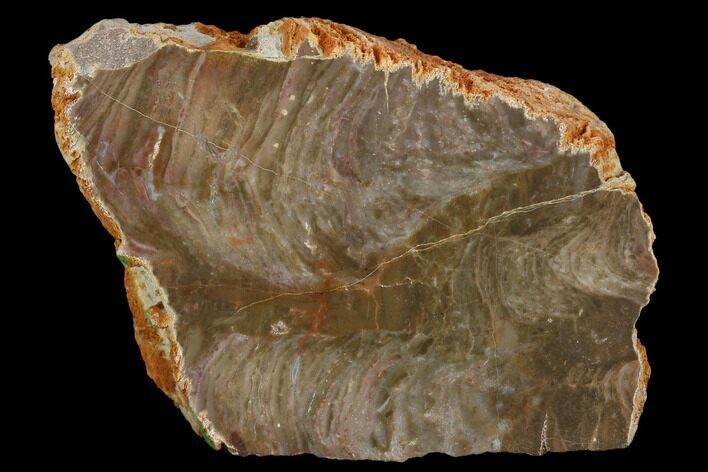 "2.9"" Polished Stromatolite (Inzeria) Section -Alice Springs, Australia"