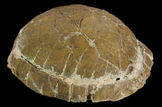 Testudo sp. - Fossils For Sale - #129249