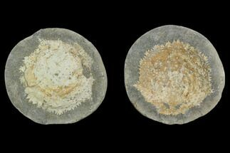 Trichopeltarion greggi - Fossils For Sale - #129396