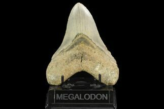 "5.07"" Fossil Megalodon Tooth - North Carolina For Sale, #124970"