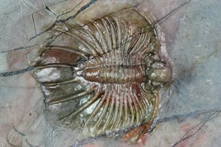 "Buy 1.1"" Unidentified Lichid Trilobite From Jorf - Belenopyge Like - #129001"