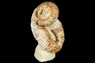 "4"" Fossil Heteromorph (Nostoceras) Ammonite - Madagascar For Sale, #129521"