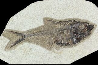 "5.6"" Fossil Fish (Diplomystus) - Green River Formation For Sale, #129542"
